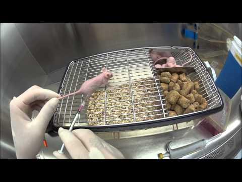 subcutaneous tumor xenograft (test video)