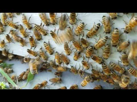 How to trick a swarm of bees to stay in your hive