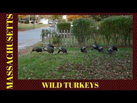 Wild Turkeys ~ Bellingham Massachusetts ~ October 2017