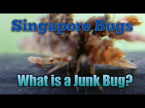 What is a Junk Bug? or so call trash bug insects macro video