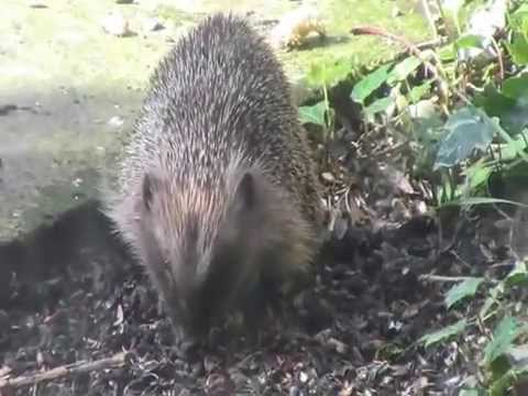 Hedgehog out in daylight hours UK
