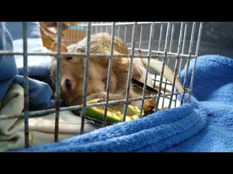 Orphaned Baby Squirrel Enjoying Avocado at WildCare