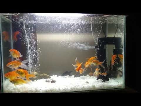 After cleaning my GoldFish tank...