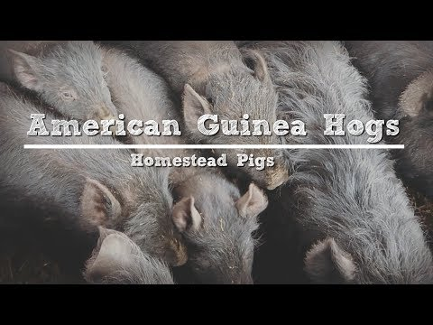American Guinea Hogs: Are They Really the Perfect Homestead Pig?