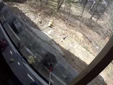 Wild Animal Control removing Raccoon on Cape Cod