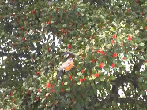 Robins feast on Holly tree berries
