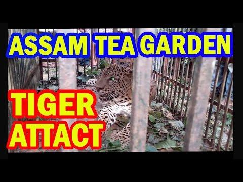 A Tiger caught at Dhopatbari tee estate assam