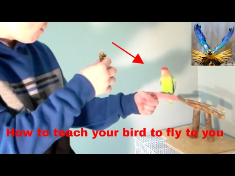 (How To) teach your pet bird to fly to you on command!
