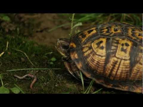 The Eastern Box Turtle Documentary
