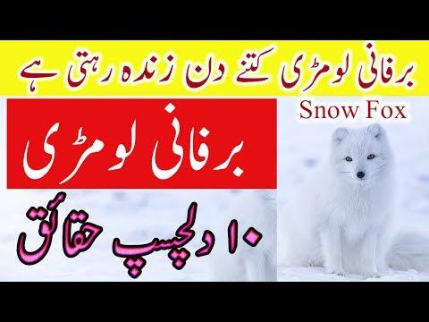 Arctic Fox Facts In Urdu 10 Dilchasp Haqaiq Lomri
