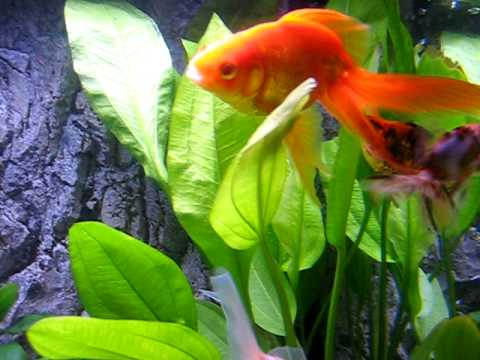 My fantail goldfish spreading eggs all over their tank.