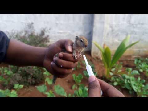 Indian baby palm squirrel feeding milk