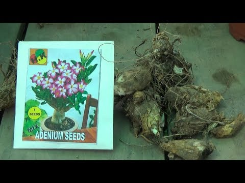 754# How to Seedling Adenium Seeds and Tube Rose Bulbs | Sowing Method