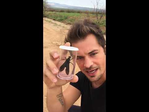 Catching a Tarantula Hawk