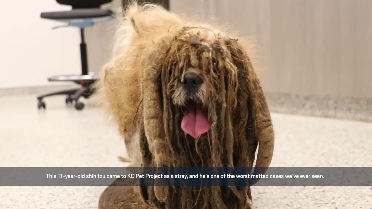 Severely Matted Dog Brought in to KC Pet Project