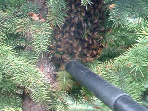 Harris Bee Swarm & John's Bee Vac (Part II)
