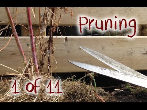 Pruning & Cleaning up My Raspberry Bushes in the Spring - Part 1 of 11