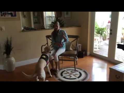 Service Dog Training - Service Dog in Training
