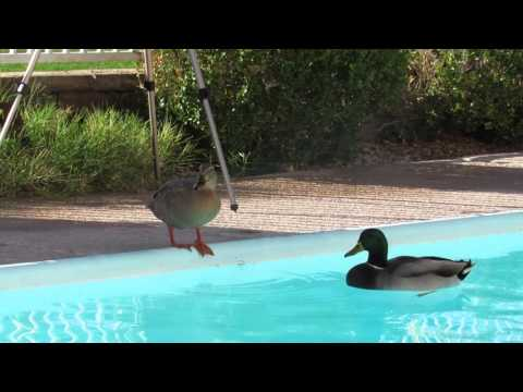 DUCKS IN OUR POOL