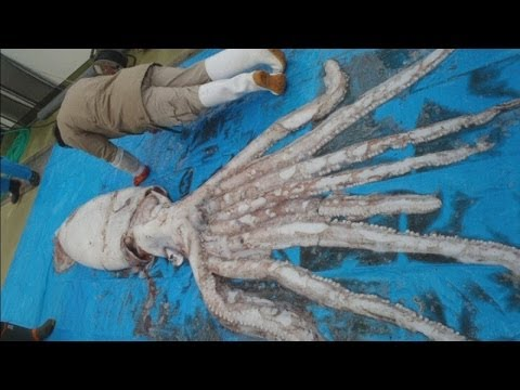 Giant squid caught off the coast of Japan