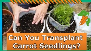 How To Transplant Carrots Grown in Mini Greenhouses
