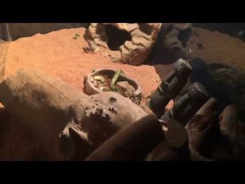 Cleaning my bearded dragon tank