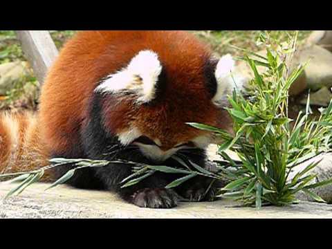 Baby Red Panda eating bamboo grass.笹を食べる子供レッサーパンダ。