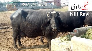 Best COW and buffalo MARKET in pakistan | calf for sale   kharian