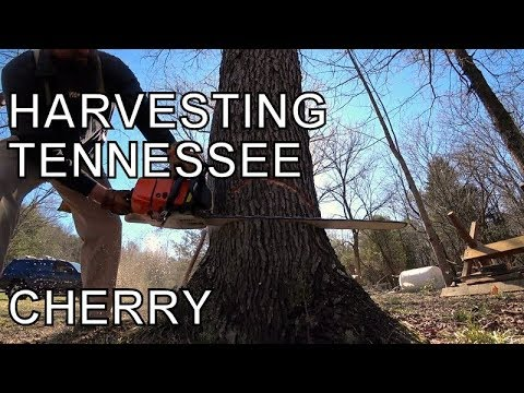 A GOOD DAYS WORK, HARVESTING TENNESSEE CHERRY