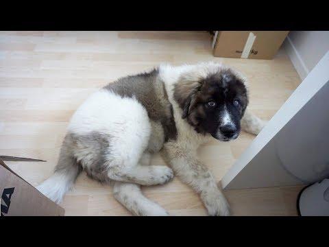 Caucasian Shepherd puppy |Kaukaski/Caucasian Ovcharka| One of The Biggest dogs in The World