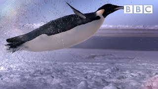 How does a penguin launch itself from the sea? - The Wonder of Animals: Episode 1 Preview - BBC Four