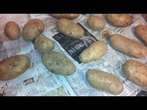 HOW TO PREPARE POTATOES FOR LONG TERM STORAGE PART 1