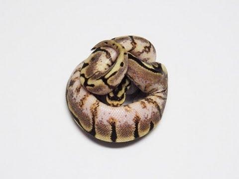 Yellowbelly Spider (Spiderbelly) Ball Python