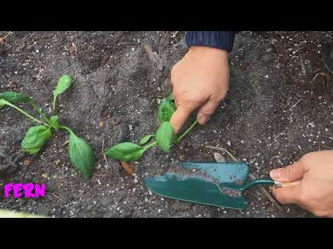 Transplanting lettuce and spinach veggies in raised bed garden
