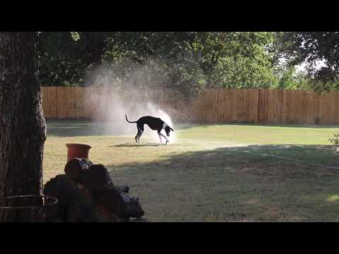 Great Dane and Sprinkler at the New House