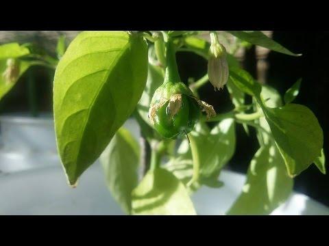 Container Gardening in Tucson 4-6-16 Update