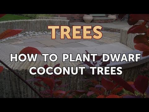 How to Plant Dwarf Coconut Trees