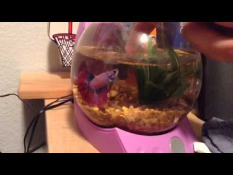How To Teach Your Betta Fish To Jump For It S Food