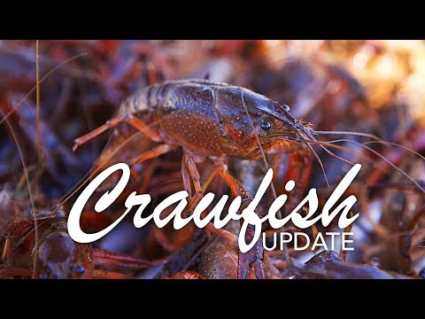 Crawfish Prices Update