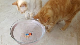 Cats Play With Wind-Up Swimmer Toy
