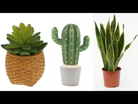 5 Plants That Protect You From Radiation Emitted By Electronic Devices In The House