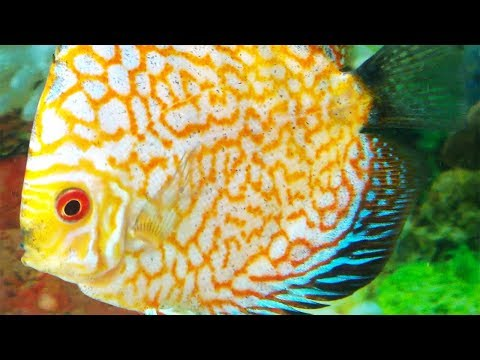 Feeding the Newly Bought Discus Fish - Albino Leopard and Sun Red Discus