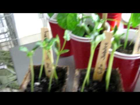 Growing watermelons from seeds 2012 pt3