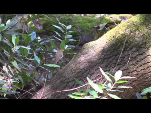 Pacific-slope Flycatcher vocalizing