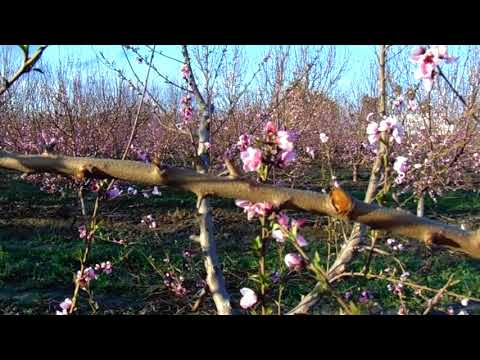 Peach Tree Pruning For High Yield Production