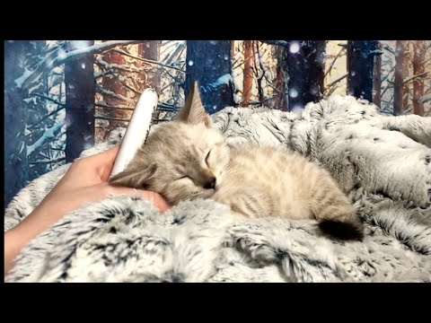 ASMR On OLAF | Snow Bengal KITTEN Tingles | PURRRrring, Combing, Petting, Brushing