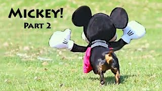 Dog in Mickey Mouse Costume, Part 2