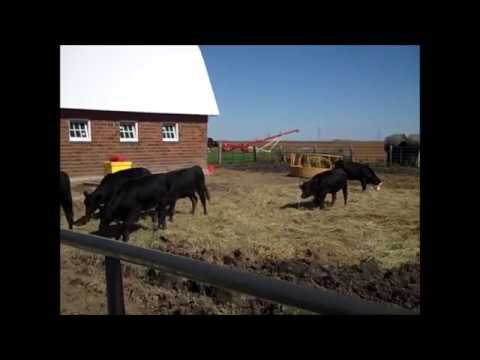 2017: The Cattle are Here! 24 Head Angus & Angus Cross