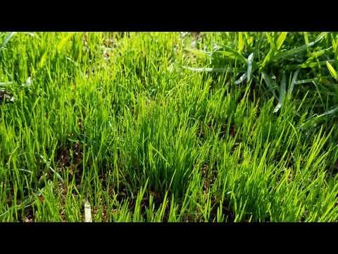 4 Week Lawn Update