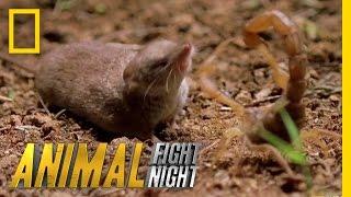 Download Psycho Shrew vs. Scorpion | Animal Fight Night Video